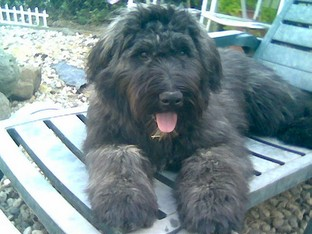 Chantal's Bouvier des Flandres